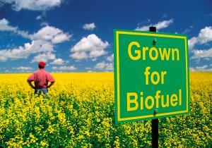 Cultura-de-Rapita-pentru-Biocombustibili-300x210