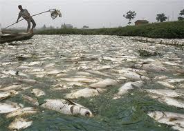 Pesci avvelenati in un fiume cinese (Fonte immagine: ecologistnow)