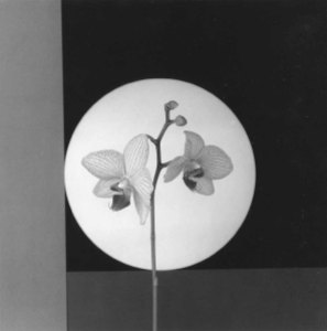 Robert Mapplethopre, Orchids. Fonte immagine: tumblr.com