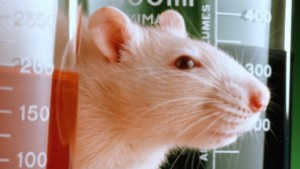 Laboratory rat peeping out from behind beakers,close-up